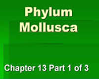 Ch. 13 - Part 1: Phylum Mollusca